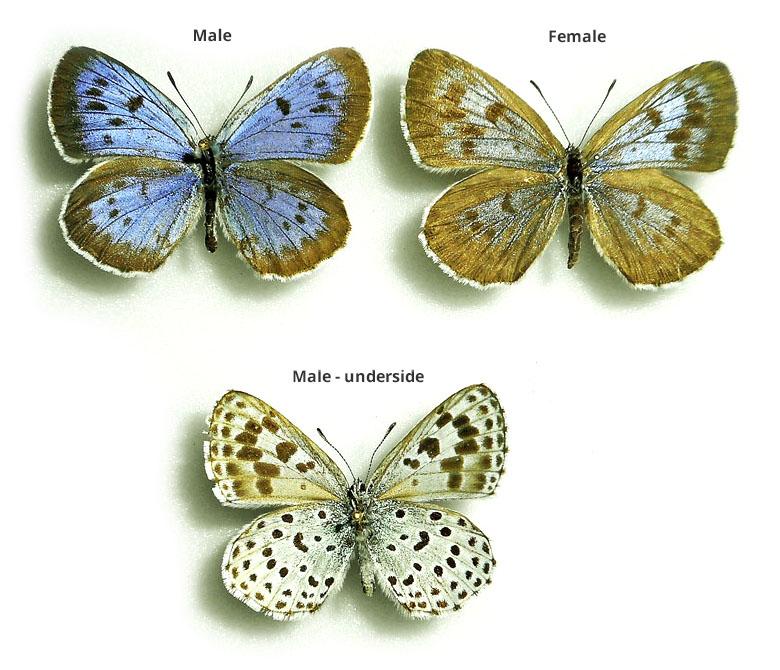 Lycaenidae Maculinea arionides